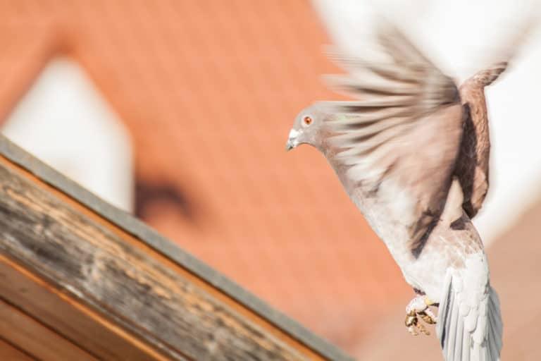 So halten Sie Tauben von Ihrem Dach fern